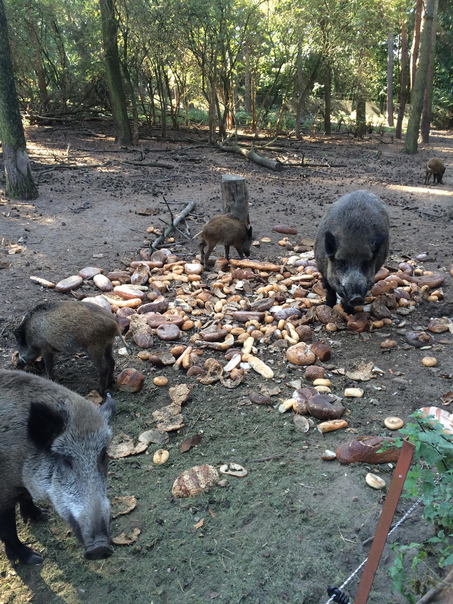 3-Gänge-Menü für die Wildschweine
