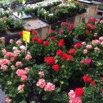 Juni 2017 Wochenmarkt Blumen